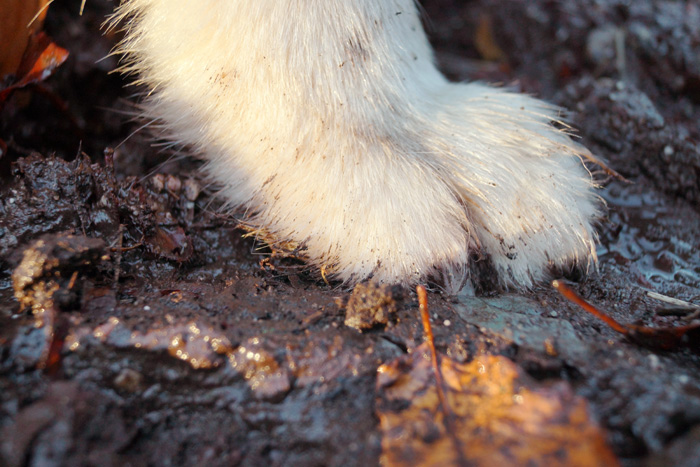 Mud and sodden ground are not a problem for those paws!